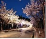 대구시, '제4회 팔공산 벚꽃축제' 열려 (사진제공: 대구광역시청)
