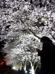 벚꽃 만개한 군산대 캠퍼스 야경 (사진제공: 군산대학교)