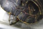 부산아쿠아리움은 지난 5월 초에 부산 기장 일광 바닷가에서 방생되어 탈진한 상태로 발견된  붉은귀거북을 구조해 보호하고 있다. 등껍질에 발원문 흔적이 지워지지 않고 남아있다. (사진제공: 부산아쿠아리움)