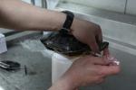 부산아쿠아리움은 지난 5월 초에 부산 기장 일광 바닷가에서 방생되어 탈진한 상태로 발견된 붉은귀거북을 구조해 보호하고 있다. (사진제공: 부산아쿠아리움)