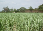 라오스에서 가장 많은 사탕수수가 재배되는 중부 사바나켓이다. 사탕수수는 해외 곡물시장에서 가장 비싼 가격에 거래되고 있다. (사진제공: 아세안투데이)