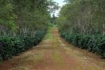 커피 생산지로 유명한 라오스 남부 빡송의 '다흐앙'그룹 커피농장이다. 노동인력 부족으로 투자의 매력을 잃어가는 지역으로 세콩주(州)나 사라반주(州)가 대안으로 떠오르고 있다. (사진제공: 아세안투데이)