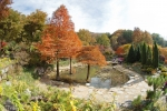 연못속에 사는 낙우송, 깃털모양의 잎이 붉게 물들어 떨어진다.