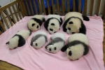 청두에서 태어난 7마리의 아기 판다들