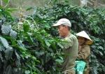 라오스 커피는 나무를 심고 3년 후부터 최소 15년간 수확이 가능하고, 법인으로 땅을 매입하면 후대까지 물려줄 수 있는 장점이 있다.