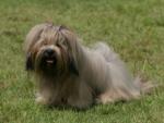 영화 '타워'에 등장한 강아지, 시츄 아닌 라사압소?