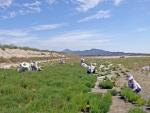 농업법인 (주) 마나피아가 강화도 갯벌일대에서 운영하는 15만평 규모의 대단위 함초농장에서 수확이 한창이다