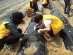 자원봉사자들이 감자 심기를 하는 모습이다.