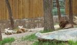 낮잠을 자고 있는 암수 사자한쌍과 이를 질투에 타는 눈으로 쳐다고 있는 숫사자