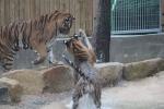 삼정더파크 워킹사파리에서 호랑이들이 물장난을 치고 있다