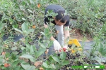 고창 베리팜영농조합법인이 본격적인 아로니아 수확에 나섰다.