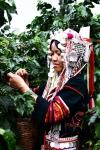 아카족 전통 복장을 입고 커피를 따는 모습이다.