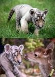 삼정더파크는 9월6일부터 관람객들에게 생후 1개월 된 수컷 새끼 시베리아 호랑이를 공개한다.