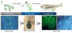건국내 연구진이 형광나노물질인 양자점이 수생태계 3단계 먹이사슬을 통해 원생생물에서 물벼룩을 거쳐 어류까지 전달되는 것을 바이오이미징을 통해 시각적으로 확인한 연구결과를 발표했다.