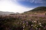 슬로시티 청산도의 코스모스 핀 가을 풍경