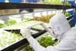 도시바, 도시바 클린 룸 팜 요코스카에서 채소 생산 시작