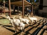 삼정더파크 동물원은 백사슴으로 불리는, 다마사슴 4마리를 일반에 선보이고 있다.