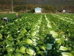 농협중앙회가 김장배추의 가격 안정대책 일환으로 해외 수출을 적극 추진한다.