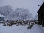 설원 속 대관령 양떼목장에서 양떼들이 한가로이 노니고 있다.