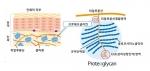 프로테오글리칸의 구조 이미지