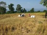 현재 약 100헥타르가 개발되어 있는 이 땅에서 연간 약 5천 가마에 달하는 밭벼를 생산하고 있다.
