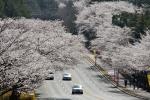 경주 보문단지 벚꽃 드라이브
