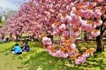 경주 불국사 겹벚꽃