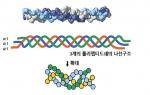 비변성2형콜라겐의 구조도 (3중나선형)