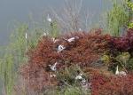 서울 광진구 능동로 건국대 캠퍼스에 있는 대형 호수인 일감호의 인공섬 와우도에 왜가리와 백로 수십 마리가 30여개의 둥지를 틀고 새끼를 기르며 집단 서식하고 있다