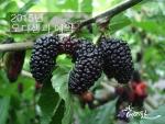 고창베리팜이 5월 중순부터 수확하는 오디 생과의 본격적인 판매에 앞서 선착순 100명 한정 예약판매를 실시하고 있다