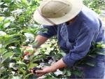 들뫼향농원 들뫼농부 신현욱씨가 제철인 아로니아를 수확하고 있다.
