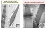 은나노가 처리된 정자의 전자현미경 사진. 정자는 은나노에 의해 폭탄을 투하 받은 것처럼 움푹 패여있다