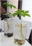 수경재배도 가능하고, 아파트 발코니에서 화분에 심은 인삼에 열매가 달렸다 (사진제공: 인토농산)