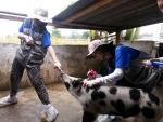 첫 해외 수의료 봉사활동에 나선 건국대 수의과대학 학생들이 29일(현지시각) 라오스 비엔티엔주 반동 마을에서 농가의 소와 돼지 등 가축 열병 바이러스(PCV) 예방 백신 접종과 애완동물 구충제 투여, 산업용 동물 진료 등 봉사활동을 하고 있다. 건국대 수의과대학 학생들과 교수, 동문 수의사 등 21명으로 구성된 해외봉사단은 지난 20일부터 30일까지 라오스에서 산업용 동물 백신 접종과 소동물 진료, 애완동물 구충제 투여 등 수의료 해외봉사활동을 벌였다. 이번 건국대 수의과대학의 해외 봉사활동에는 건국대 동물병원, 한국대학사회봉사협의회, 서울시 수의사회, 중앙백신연구소, 베토퀴놀 코리아, 바이엘 코리아, ㈜에이피에스, 솔축산약품, ㈜광우테크, 한강동물약품, 화영약품 등 많은 바이오 기업과 봉사단체 등이 동물용 백신과 약품 등을 지원했으며 국내 가축 전문 수의사들과 동물원 팀장, 수의과대학 교수 등이 동행해 학생들의 활동을 지원했다. (사진제공: 건국대학교)
