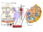ENP가 정소 내 정자형성과정과 난소 내 난자형성과정에 미치는 독성학적 영향. BTB: blood-testis barrier(혈관과 세정관 사이의 장벽), NP: nanoparticle(나노입자), ROS: reactive oxygen species(활성 산소군), SSC: spermatogonial stem cells (정원줄기세포), TJP: tight junction protein(세르톨리세포 사이의 연결 단백질)