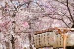호텔스닷컴이 떠오르는 일본 인기 벚꽃 여행지 Top 8을 발표했다