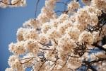 여행박사가 몸도 편하고 시간도 줄일 수 있는 당일치기 국내 봄꽃 여행 상품을 선보였다
