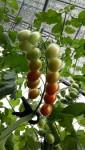 천연비료를 활용해 재배한 약성 토마토