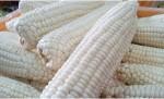 명품식탁K가 복숭아·남작감자·치악산 찰옥수수 등 여름 제철 채소과일대전을 실시한다. 사진은 치악산 찰옥수수