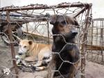Dog Meat Free Indonesia가 인도네시아 동물 거래시장에서 벌어지고 있는 동물 학대행위를 폭로했다. 사진은 인도네시아 동물 거래시장에서 개들이 케이지에서 대기하고 있다