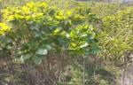 황칠나무 재배단지