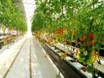 셀레늄 토마토