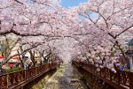 한국 진해의 벚꽃축제