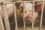 KMI한국의학연구소가 아프리카돼지열병 관련 건강정보를 공유했다
