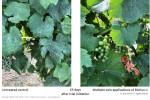 Biotalys의 바이오 살균제 BioFun-1(오른쪽)은 대부분의 시험에서 한 번의 살포만으로 살균제를 사용하지 않은 대조군(왼쪽)에 비해 다수의 병원체에 대해 높은 보호 효과를 보였다
