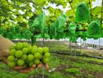 얼라이브가 천연효모로 재배한 샤인머스켓