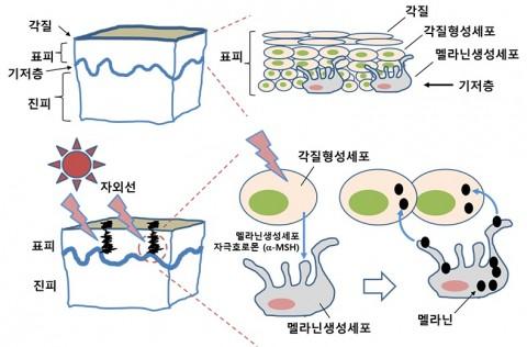 자외선에 노출되면 피부 표피의 멜라닌생성세포에서 멜라닌이 합성되어 각질형성세포로 이동하고 과다 축적되면 기미, 주근깨, 검버섯이 된다