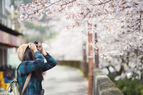 일본 벚꽃