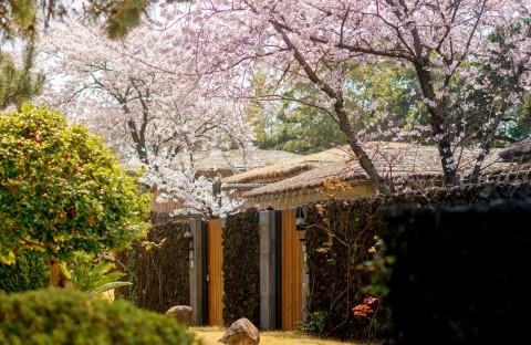 벚꽃이 핀 씨에스호텔의 봄