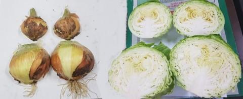 천연비료 인회석 사용해 재배한 양파와 양배추